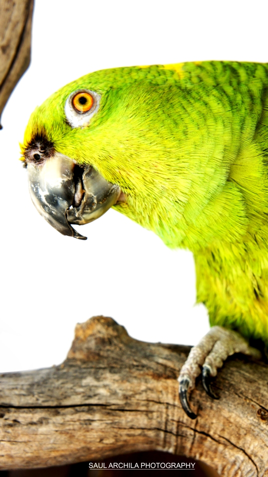 BUSTER THE PARROT